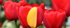 Tulpen_©Wikipedia Common Licence