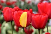 Tulpen_©Wikipedia Common Licence
